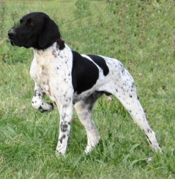 Beautiful German Shorthaired Pointers | Pointer puppies ...  |Black Ticked German Shorthaired Pointer Puppies