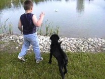 Labrador Retriever, Black Labrador Puppies, Dog Training, Dog Breeding, bird dog training, field dog, hunting dogs, hunting dog training